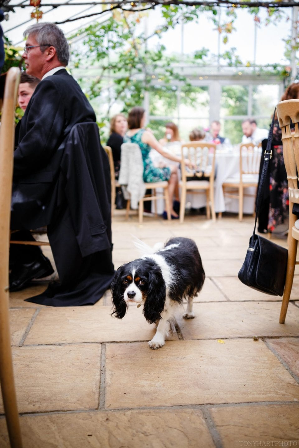 Sweetpea the King Charles Spaniel on the prowl for dropped morsels during Emma & Tom's wedding breakfast in the greenhouses at West Green House